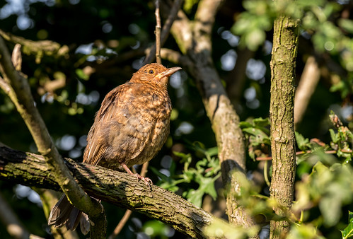 Juvenile Blackbird | by www.craigrogers.photography