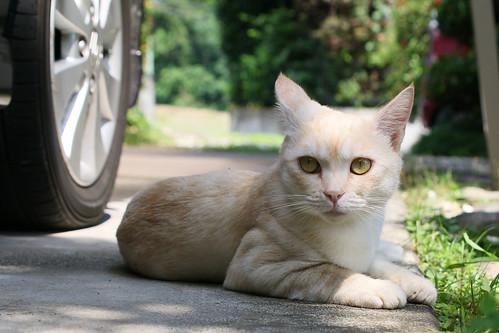 IMG_5508 Cream tabby Japanese cat 薄茶トラ猫