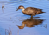 Grey teal Anas gracilis New Zealand native duck by Maureen Pierre