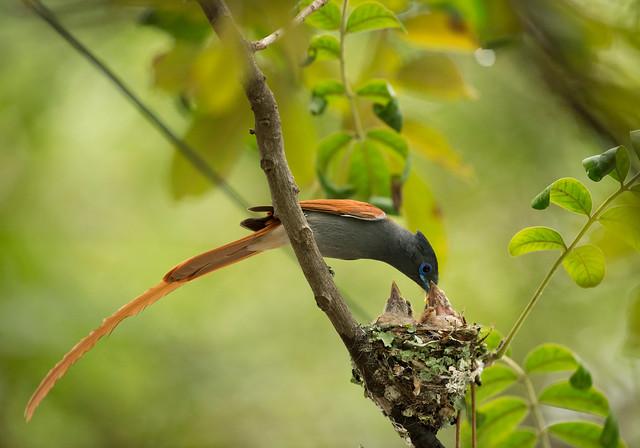 Paradise Flycatcher, (Explored), Terpsiphone viridis, Falcon College, Esigodini, Zimbabwe