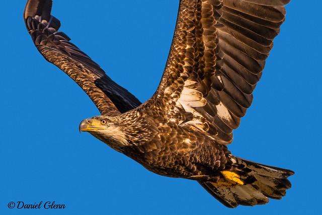 Immature Bald Eagle (Haliaeetus leucocephalus) at Conowingo Dam