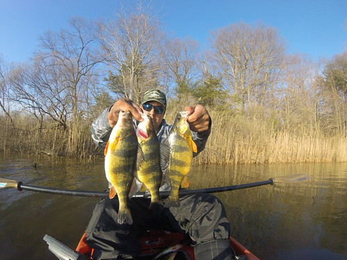 Phot of man in boat holding three yellow perch