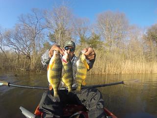 Photo by Alex Perez of some yellow perch