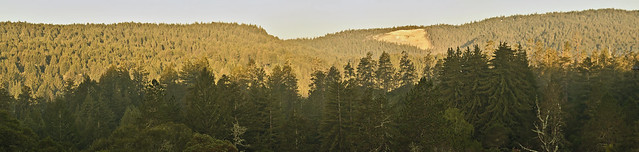 Felton Heights Redwoods in Foreground