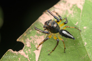Jumping spider (Salticidae) - DSC_2167
