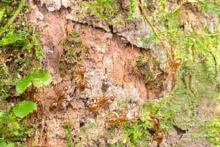 Planthoppers (Fulgoromorpha) - DSC_4606