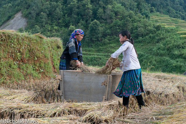 Blue Hmong Hand Threshing