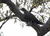 Black Falcon_15-11-09_Falco subniger by Langham Birder