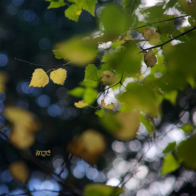 Les feuilles jumelles... The twin sheets ...