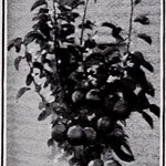 "Image from page 24 of ""Catalog of fruit trees vines, ornamentals, etc."" (1911)"