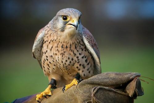 bedfordshire glove prey kestrel birdofprey oldwarden englishschooloffalconry