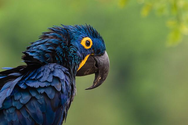 Hyacinth Macaw on a rainy morning