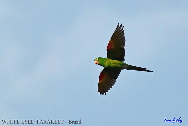 (Species# 876) WHITE-EYED PARAKEET - [Itatiaia National Park, Brazil ]