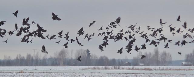 Corvus monedula & Corvus corone cornix