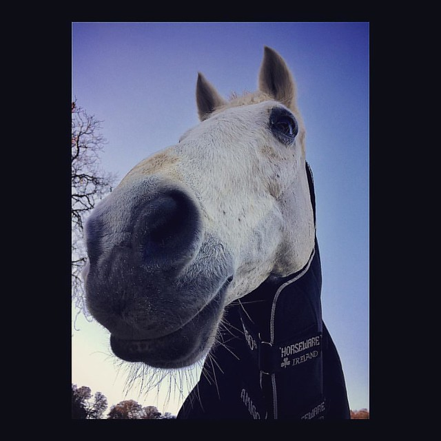 Nosy Horsy  🐴🐴🐴  #whitehorse #horsey #winter #morning #freezingcold #bluesky #meadow #innocent #therapeutic #nose #muzzle #eye #countryliving #Windsor #england #iphoneography #うま #はな #魚眼レンズみたい #冬空 #牧場