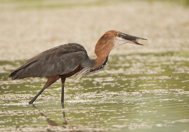 Goliath Heron, Ardea goliath, Msuna Fishing Resort, Zambezi River, Zimbabwe