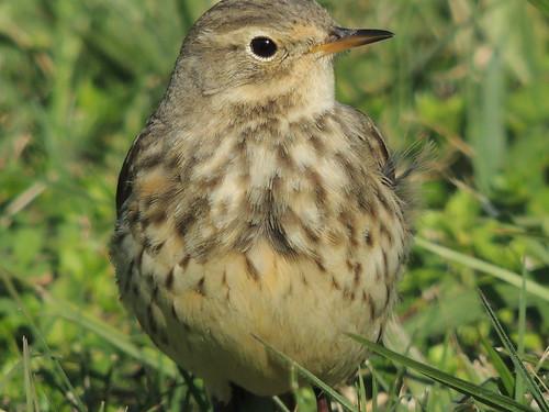 bird texas migration americanpipit
