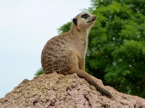 Meerkat Lookout (30/08/2015)