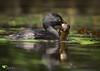 Least Grebe (Tachybaptus dominicus) by Daniel Mclaren .:. Naturalist Guide CR