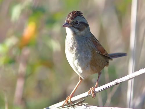 Swamp Sparrow 08-20161121