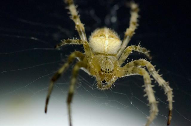 Night Crawler spider