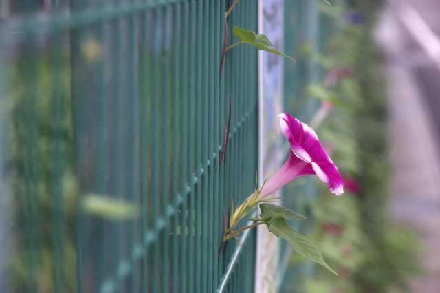 Morning Glory in the Fence