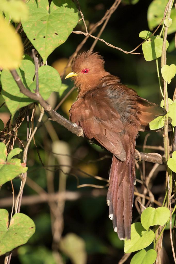 Little Cuckoo (Coccycua minuta)