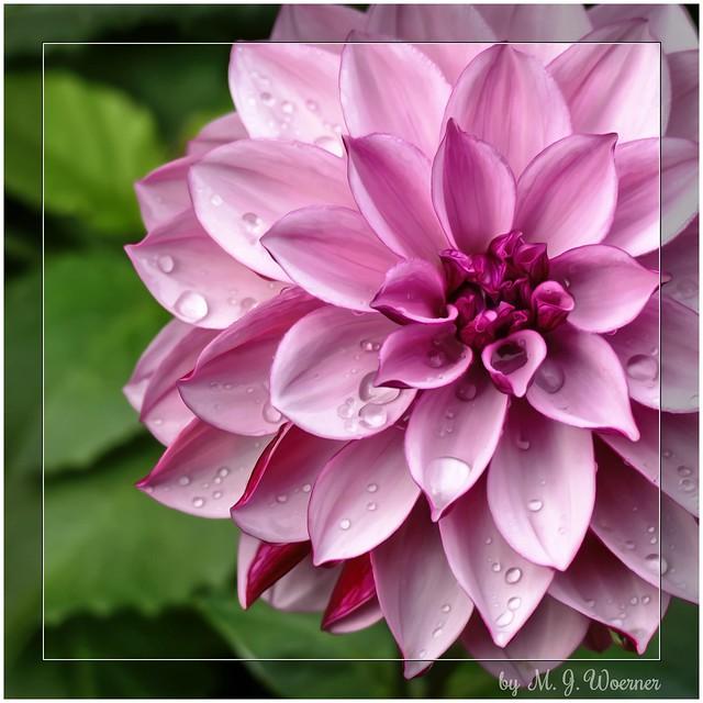 Typology of Dahlia – Waterlily Dahlias 4/5