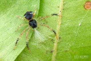 Crab spider (Thomisidae) - DSC_4246