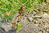 Ruffed Grouse (Bonasa umbellus) - Out in the North Woods by Adventure George