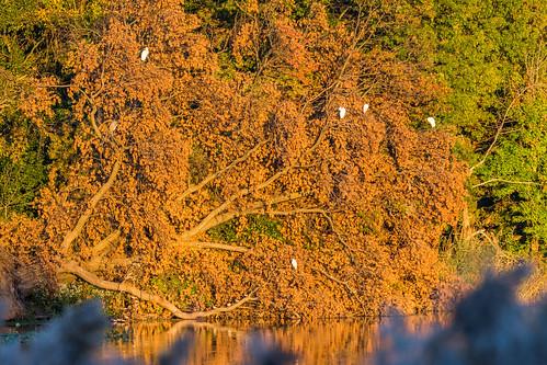 autumn orange brown color tree bird fall philadelphia nature leaves us nikon unitedstates pennsylvania wildlife philly egret heinz tinicum greategrets goldenlight johnheinznwr d7200