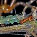 Insectes - Hyménoptères