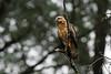 Common Black-Hawk juvenile (Buteogallus anthracinus) by sparverius81