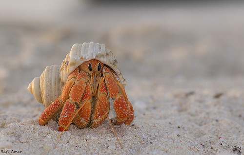 Strawberry Hermit Crab - Coenobita perlatus