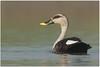 Indian Spot Billed Duck by Aravind Venkatraman