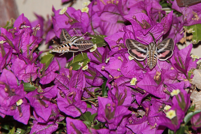 Two White-lined sphinx moths.