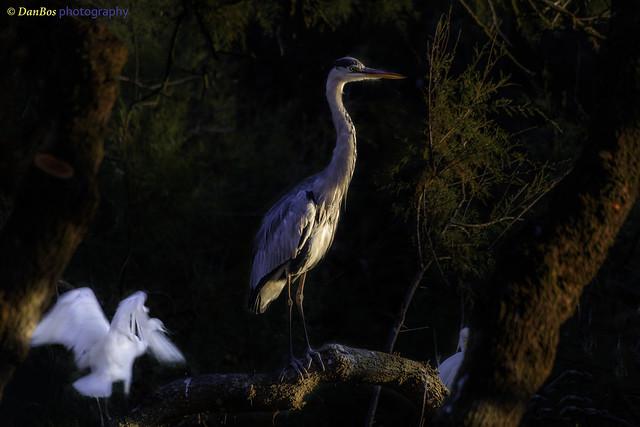 Grey and  White Herons at sunset