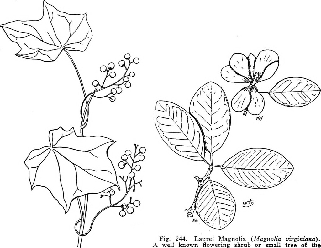 Image From Page 352 Of A Manual Of Poisonous Plants Chie Flickr