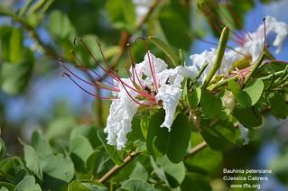Bauhinia petersianus   by tftsmiami