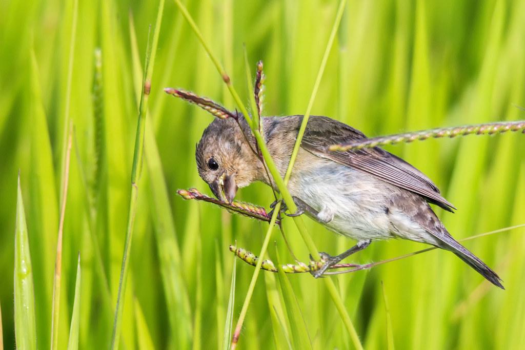 Plumbeous Seedeater | Espiguero Plomizo (Sporophila plumbea whiteleyana) (♀)