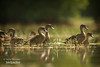 Flock of Sunda Teal by birdpacker.com