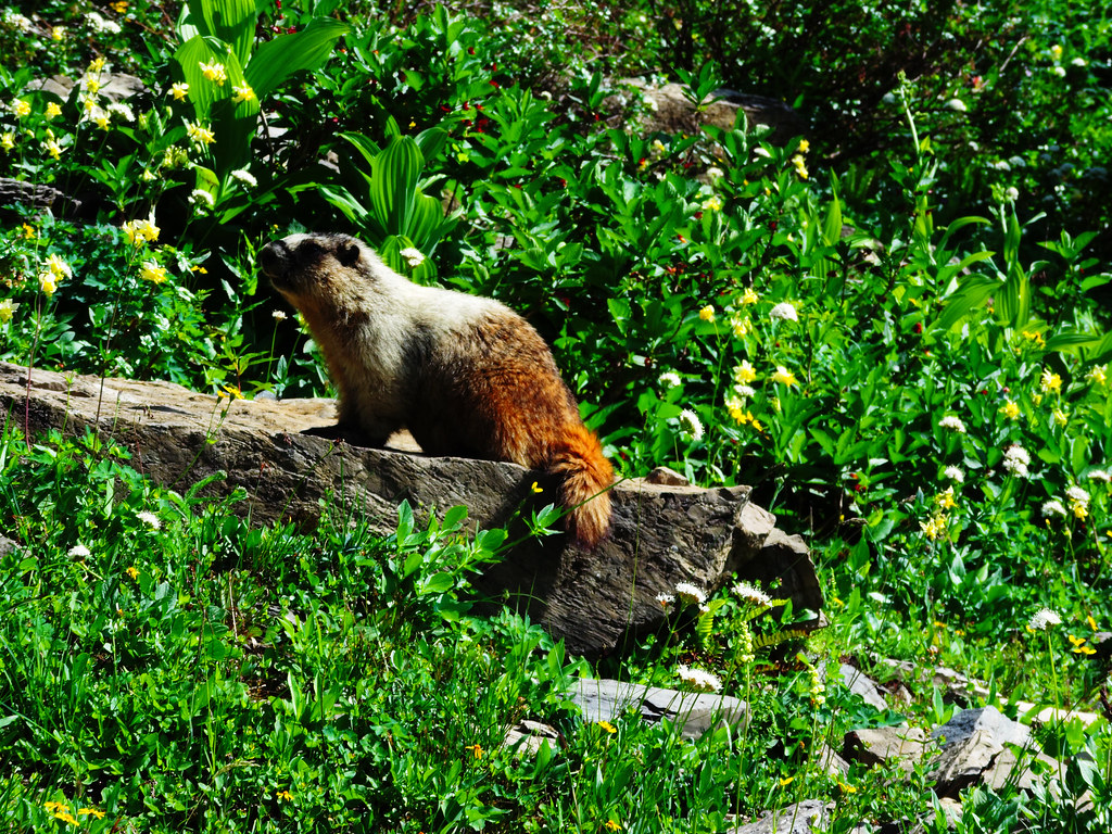 Curious marmot in Glacier National Park, Montana