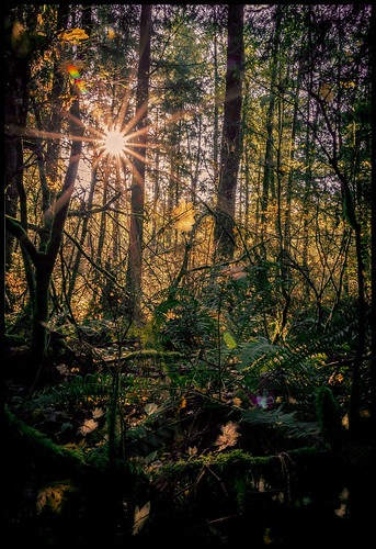 surrey britishcolumbia canada ca sunnysideacres fall martinsmith nikond750 southsurrey forest forestscene sunburst leaves ferns shadows sunlight vinemaples nikkor2485mmf3545gedvr moody moss lensflare autumn lowermainland hdr landscape