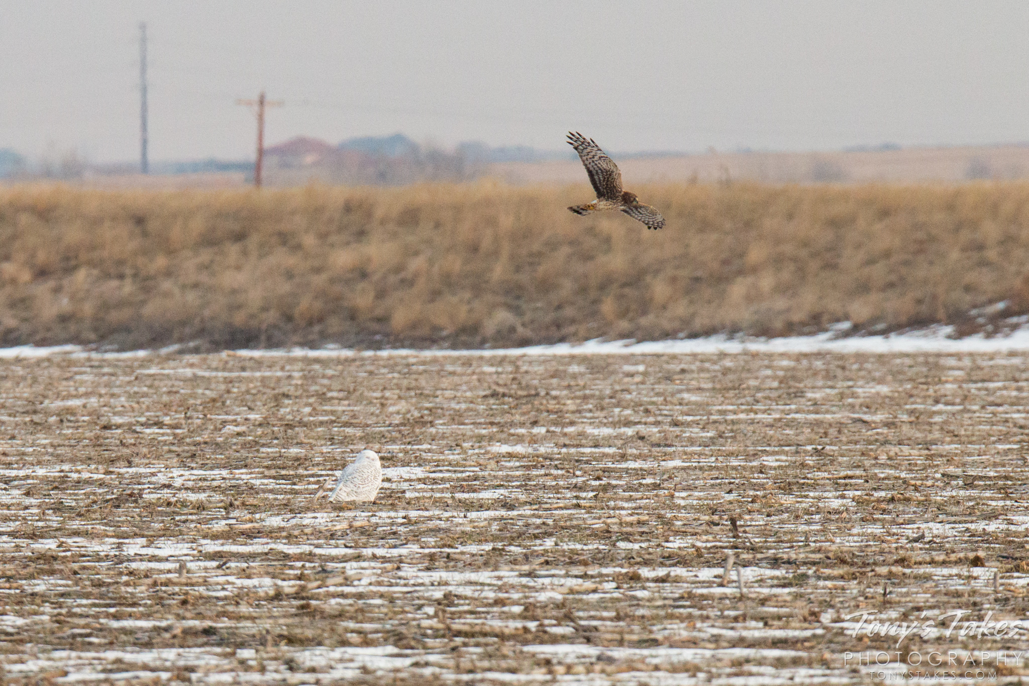 A Northern Harrier hassles a Snowy Owl on the Colorado plains. (© Tony's Takes)