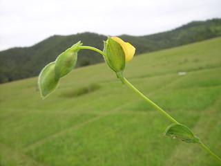 Zornia dyctiocarpa flower bracts3