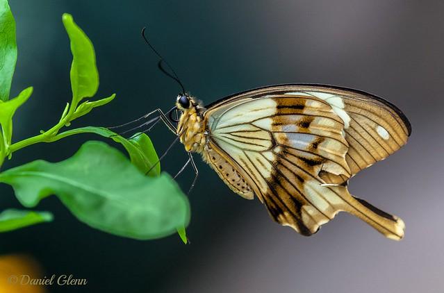 Mocker Swallowtail (Papilio dardanus) at Brookside Gardens