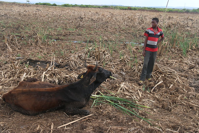 Trying to save the life of a weak and dying cow in a village in Swaziland, where many animals have succumbed to the effects of this year's prolonged drought.