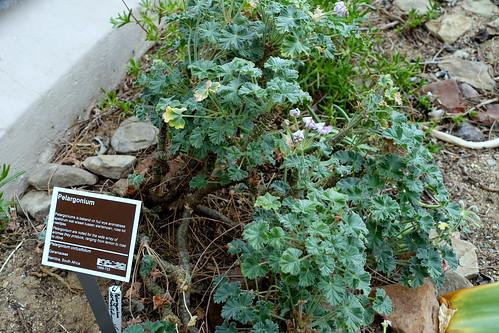 Pelargonium cortusifolium