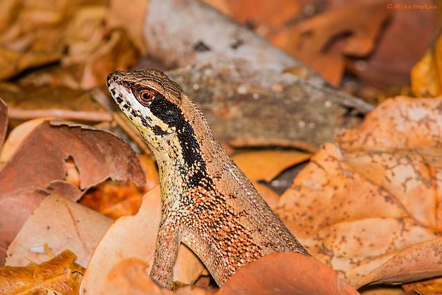 Cuban Brown Curlytail lizard (Leiocephalus cubensis)