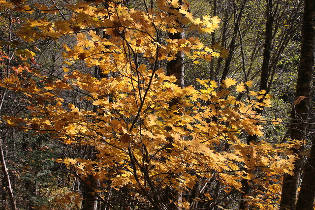 A lone big leaf maple explodes into color